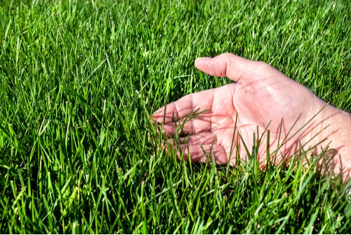 a mans hand evaluating the feel of his RTF lawn