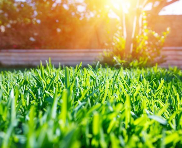 beautiful green grass during a sunset