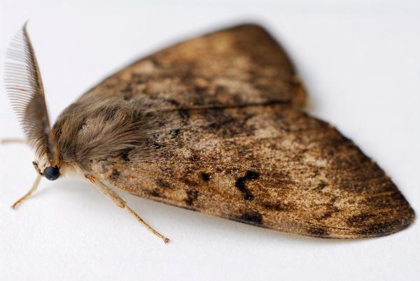 gypsy moth closeup