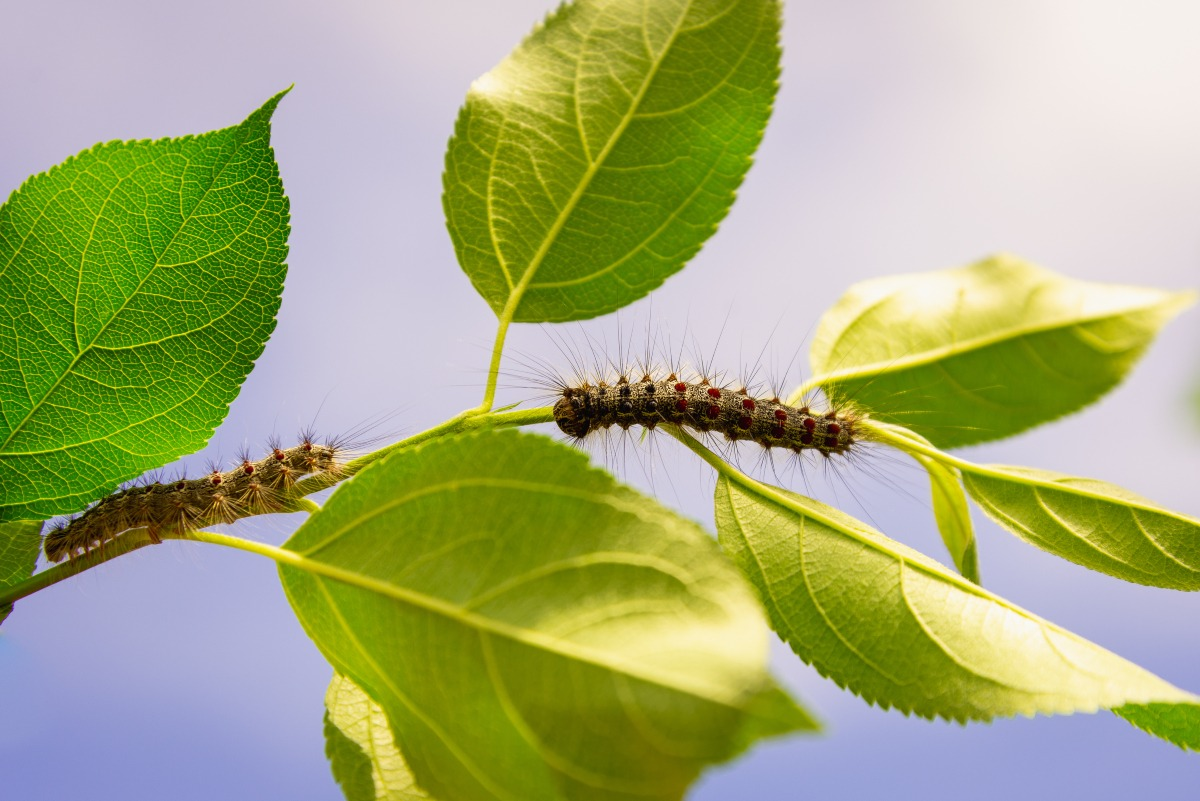 gypsy moth on tree leaves